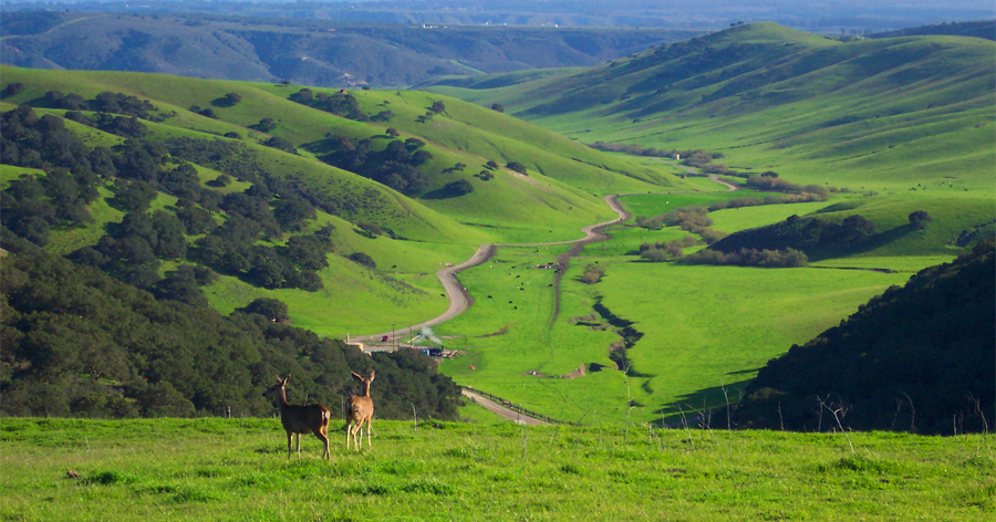 Deer Grazing at Casmalia, Calfornia Project Site
